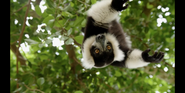 CITIRWN Ruffed Lemur