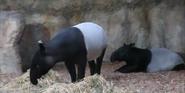 Chester Zoo Tapirs