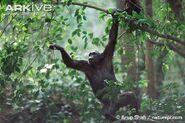 Chimpanzee-swinging-through-tree