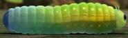 Gon Caterpillar