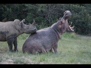 Hippos and Rhinos Dating