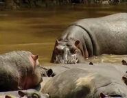 HugoSafari - Hippopotamus08