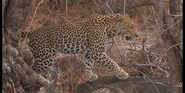 KNP Leopard
