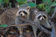Male and Female Raccoons