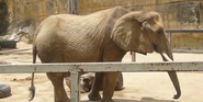 San Antonio Zoo African Elephant