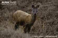 Siberian-musk-deer-.jpg