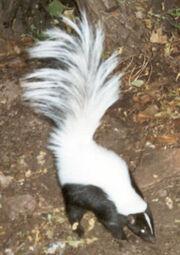 Skunk, Hooded.jpg