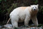Bear, Kermode.jpg