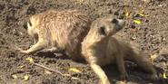 Cleveland Metroparks Zoo Meerkats