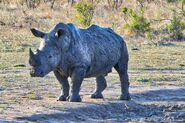 David Tucker - Singita Sabi Sands - White Rhino in mud - 2017 4e9686fe-e22c-40e8-b25a-8d794efc36e5 2048x