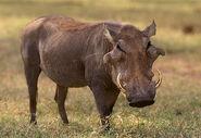 Desert Warthog