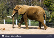 Elephant-at-the-san-diego-zoos-wildlife-safari-parkcalifornia-HTF6AX