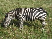 Grants Zebra.jpg