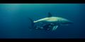 Oceans 2010 Shark