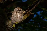 Owl, Tawny