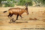 Red-hartebeest-running