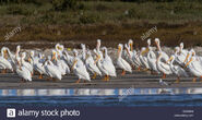 Squadron of Great White Pelicans