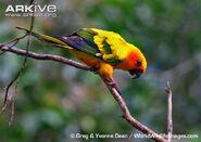 Sun-parakeet-moving-along-branch