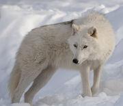 Arctic wolf.jpg