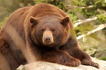 Cinnamon Black Bear.jpg
