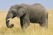 East African Bush Elephant (V3).jpg