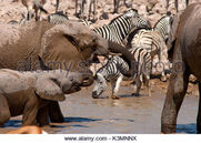 Elephants-and-zebras-congregating-at-okaukuejo-waterhole-for-a-drink-k3mnnx