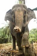 Female Sumatran Elephant