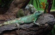 Keeping-chinese-water-dragons-with-other-animals