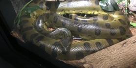 Milwaukee County Zoo Green Anaconda