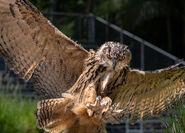 Owl, Eurasian Eagle