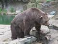 Pittsburgh Zoo Kodiak