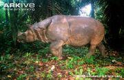Rhinoceros, Javan.jpg