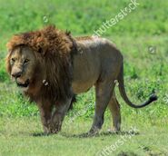 Southern African Lion