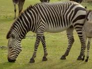 TMODAK Zebra