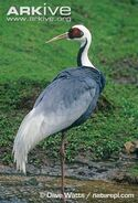 White-naped-crane-adult-standing-in-water