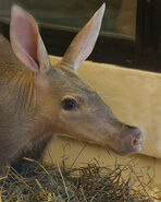 Aardvark (Animals)