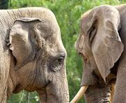 African Elephants Woolly Mammoths Asian Elephants