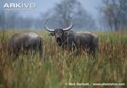 Asian-buffalo-in-grassland