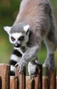CITIRWN Lemur