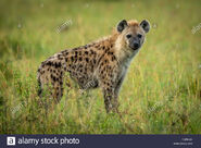 Eastern spotted hyena