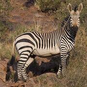 Hartmann's Mountain Zebra.jpg