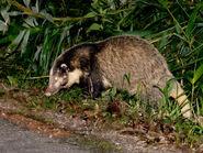 Hog-badger 1920