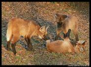 Pack of Maned Wolves