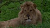 Pittsburgh Zoo Lion (V2)