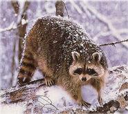 Raccoon, North American