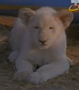 Scout's Safari White Lion