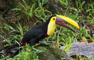 Toucan, Black-Mandibled