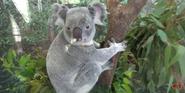 Zoo Miami Koala