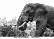 African Elephants In the Windy Hurricane Caused by the Wickedness Of Sinful Men