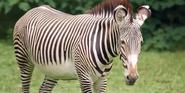 Bronyx Zoo Grévy's Zebra